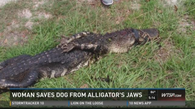 Woman grabs gator's tail to rescue dog