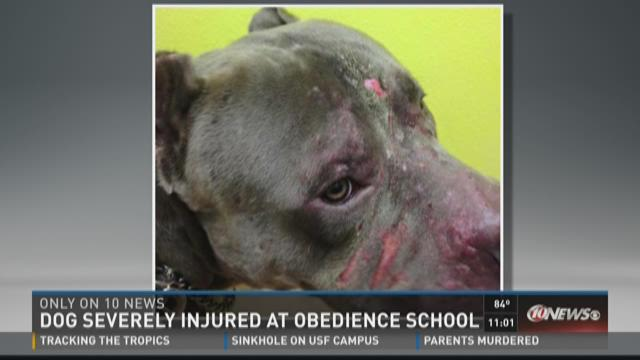 Owner Dog Severely Injured At Obedience School