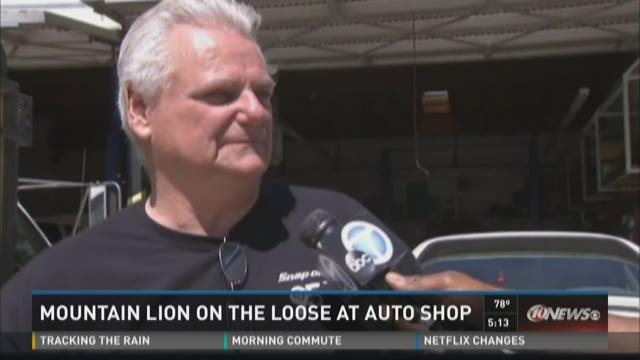 Mountain lion on the loose at auto shop