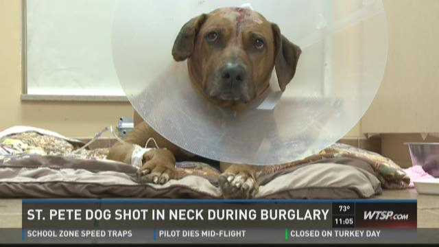 St. Pete dog shot in neck  during burglary