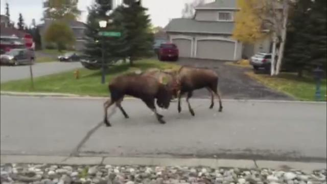 WATCH: Two moose duke it out in Alaska neighborhood