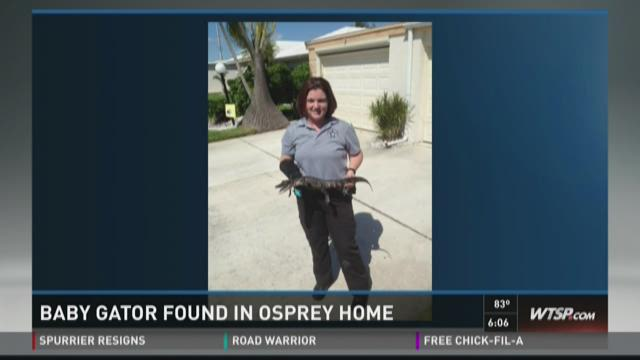 Baby alligator found in Osprey, Fla. home